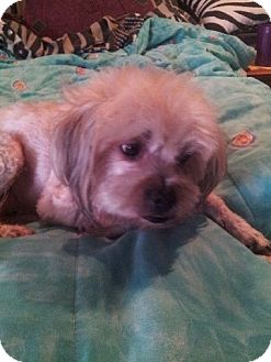 Lhasa Apso Mix Dog for adoption in SO CALIF, California - Romeo