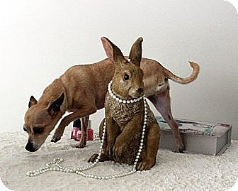Chihuahua Dog for adoption in Mount Gretna, Pennsylvania - Precious