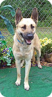 German Shepherd Dog Dog for adoption in Marietta, Georgia - DUCE