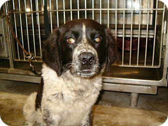Springer Spaniel/Beagle Mix Puppy for adoption in Upper Sandusky, Ohio - Tinker