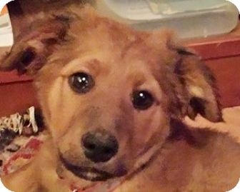 Great Pyrenees/Newfoundland Mix Puppy for adoption in Tulsa, Oklahoma - Snickers  *Adopted