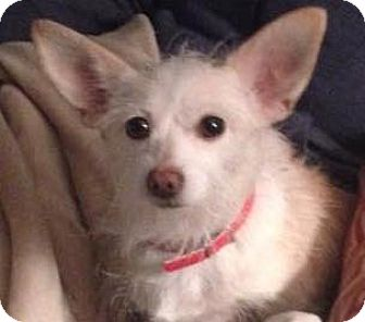 Terrier (Unknown Type, Small) Mix Dog for adoption in Worcester, Massachusetts - Evita