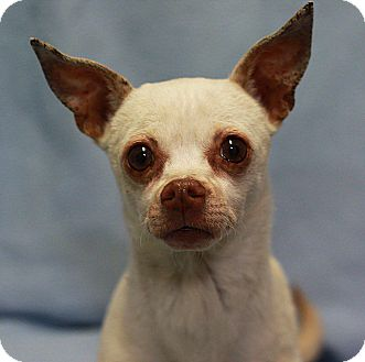 Chihuahua Mix Dog for adoption in South Haven, Michigan - Cappuccino