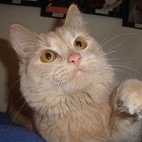 Domestic Mediumhair Cat for adoption in Midway City, California - Popcorn