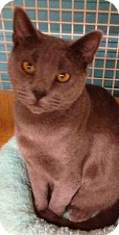 Domestic Shorthair Cat for adoption in Old Bridge, New Jersey - Minou