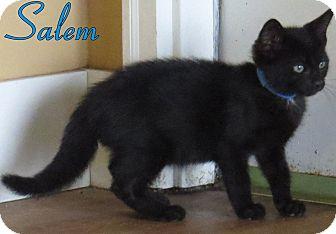 Domestic Shorthair Kitten for adoption in Georgetown, South Carolina - Salem