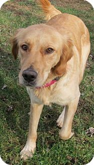 Golden Retriever Mix Dog for adoption in Coldwater, Michigan - Delilah - IN TRAINING