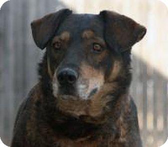 Shepherd (Unknown Type) Mix Dog for adoption in Yukon, Oklahoma - India