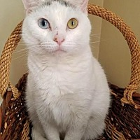 Domestic Shorthair Cat for adoption in Shakopee, Minnesota - Lily C1268