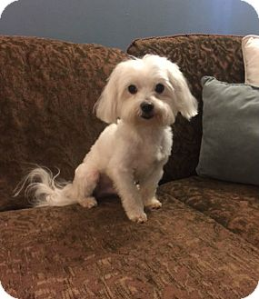 Maltese Dog for adoption in Birmingham, Alabama - Kriss