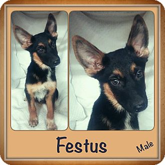 Shepherd (Unknown Type) Mix Puppy for adoption in East Hartford, Connecticut - Festus Adoption pending