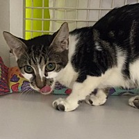 Domestic Mediumhair Cat for adoption in St. Cloud, Florida - Marshall