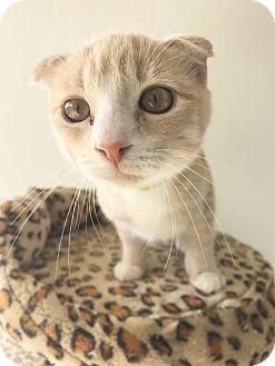 Scottish Fold Kitten for adoption in Agoura Hills, California - Shark Bite