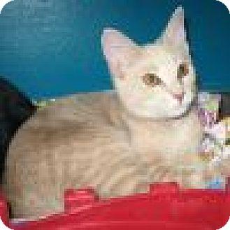 Domestic Shorthair Cat for adoption in Powell, Ohio - Flannigan
