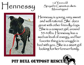 American Pit Bull Terrier/Mixed Breed (Medium) Mix Dog for adoption in Lafayette, Oregon - Hennessy