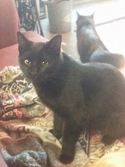 Domestic Shorthair Cat for adoption in Hartford, Kentucky - Sammi