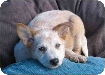 Australian Cattle Dog Mix Puppy for adoption in Phoenix, Arizona - Trevor