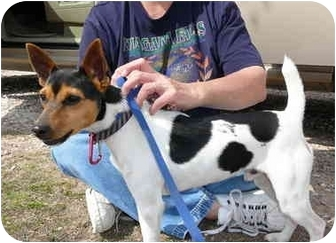 Jack Russell Terrier Puppy for adoption in Katy, Texas - Bingo