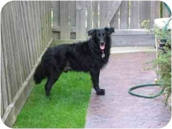 Flat-Coated Retriever/Border Collie Mix Dog for adoption in Palatine, Illinois - JACQUES