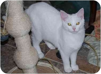 Domestic Shorthair Cat for adoption in Richmond, Virginia - Cosmo