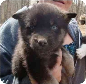 Siberian Husky Mix Puppy for adoption in Spring Valley, New York - Ivy