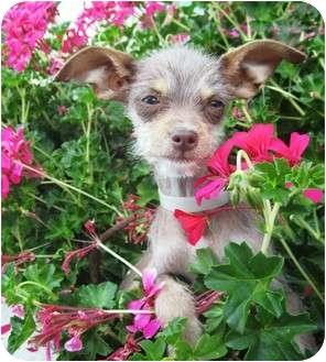 Chihuahua Mix Puppy for adoption in Santa ana, California - ELLIE