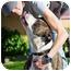 Photo 1 - American Pit Bull Terrier Dog for adoption in Berkeley, California - Khan **URGENT**