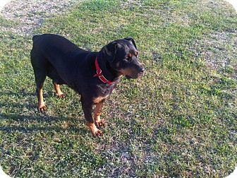 Rottweiler Mix Dog for adoption in Spruce Grove, Alberta - Roxy