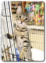 Domestic Shorthair Kitten for adoption in Yorba Linda, California - Jack