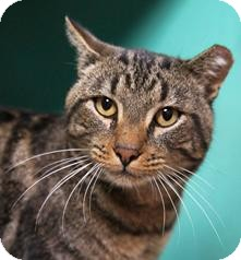 Domestic Shorthair Cat for adoption in Medford, Massachusetts - Sulley