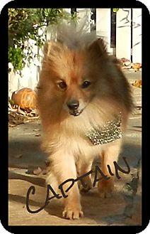 Pomeranian Mix Dog for adoption in Escondido, California - Captain