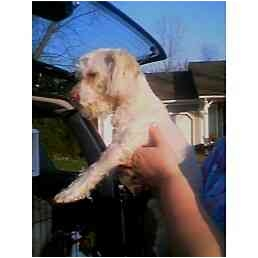 Bichon Frise Dog for adoption in Sterling Heights, Michigan - Skippy-pending