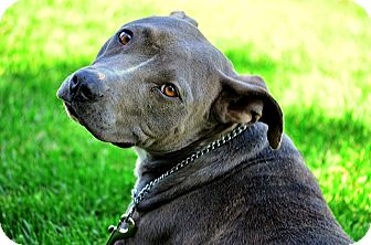 American Pit Bull Terrier/American Staffordshire Terrier Mix Dog for adoption in Sacramento, California - GRACE