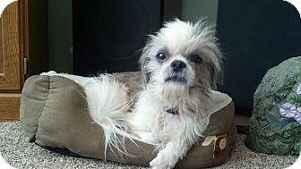 Shih Tzu Dog for adoption in China, Michigan - Duke