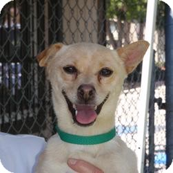 Labrador Retriever/Chihuahua Mix Dog for adoption in Corona, California - Cookie . . . A Love!