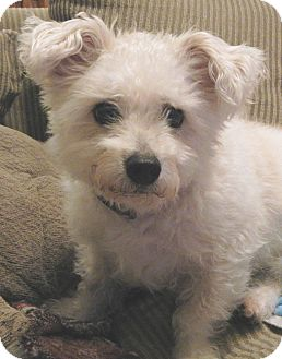 Westie, West Highland White Terrier/Poodle (Miniature) Mix Dog for adoption in Orlando, Florida - Rupert (Bobby)