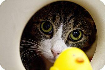 Domestic Shorthair Cat for adoption in Dunkirk, New York - Melvin