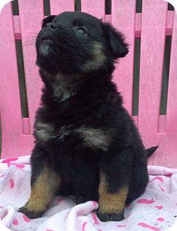 Border Collie Mix Puppy for adoption in Kimberton, Pennsylvania - Rhonda