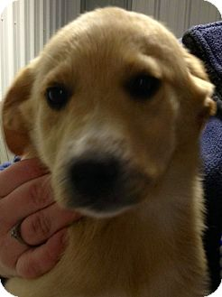 "Labrador Retriever/Australian Shepherd Mix Puppy for adoption in Oswego, Illinois - Labbies ""Lacey"""