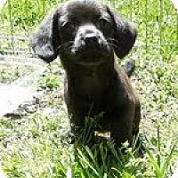 Adopt A Pet :: Amy - Staunton, VA