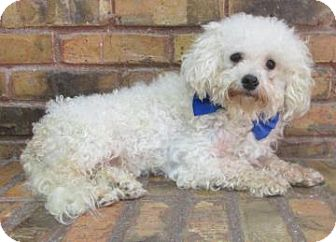 Bichon Frise Dog for adoption in Benbrook, Texas - Sonny