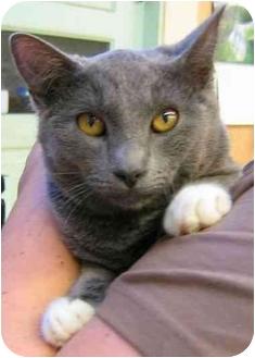 Domestic Shorthair Kitten for adoption in Plainville, Massachusetts - Duncan
