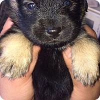 Adopt A Pet :: Puppy #1 - Whittier, CA