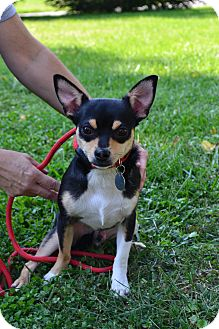 Chihuahua Mix Puppy for adoption in Troy, Ohio - Wally~Adopted!