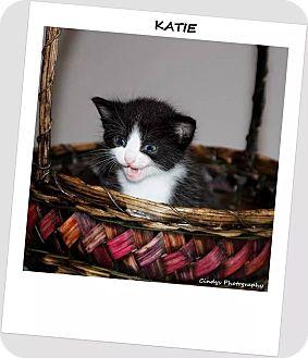 Domestic Shorthair Kitten for adoption in Woodstock, Ontario - Katie
