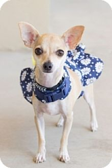 Chihuahua Mix Puppy for adoption in Mesa, Arizona - Sparkles