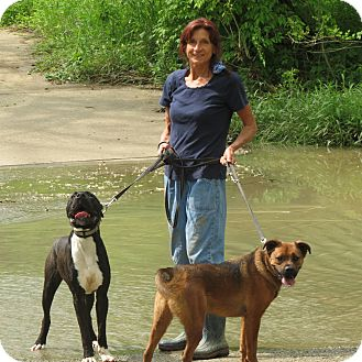 German Shepherd Dog/Labrador Retriever Mix Dog for adoption in Pleasant Plain, Ohio - Boom Boom