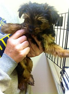Yorkie, Yorkshire Terrier Mix Puppy for adoption in Danbury, Connecticut - Remington