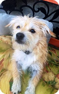 Cairn Terrier/Border Terrier Mix Dog for adoption in West Los Angeles, California - Frisco