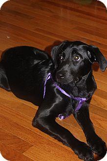Chesapeake Bay Retriever/Labrador Retriever Mix Puppy for adoption in West Simsbury, Connecticut - Precious Prim